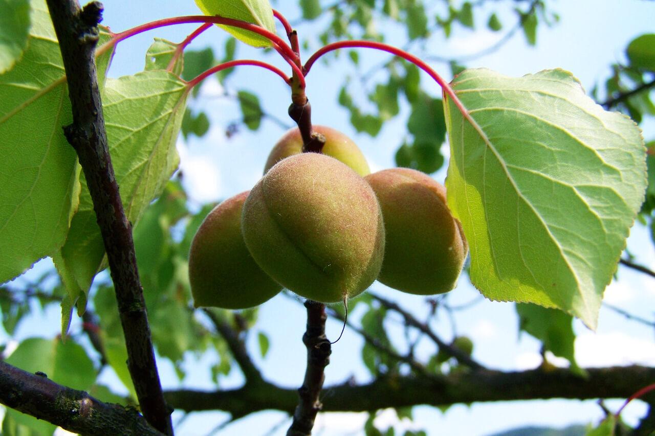 Servicios clientes árbol de albaricoque agrotécnicos hellín agrotecnicoshellin.es
