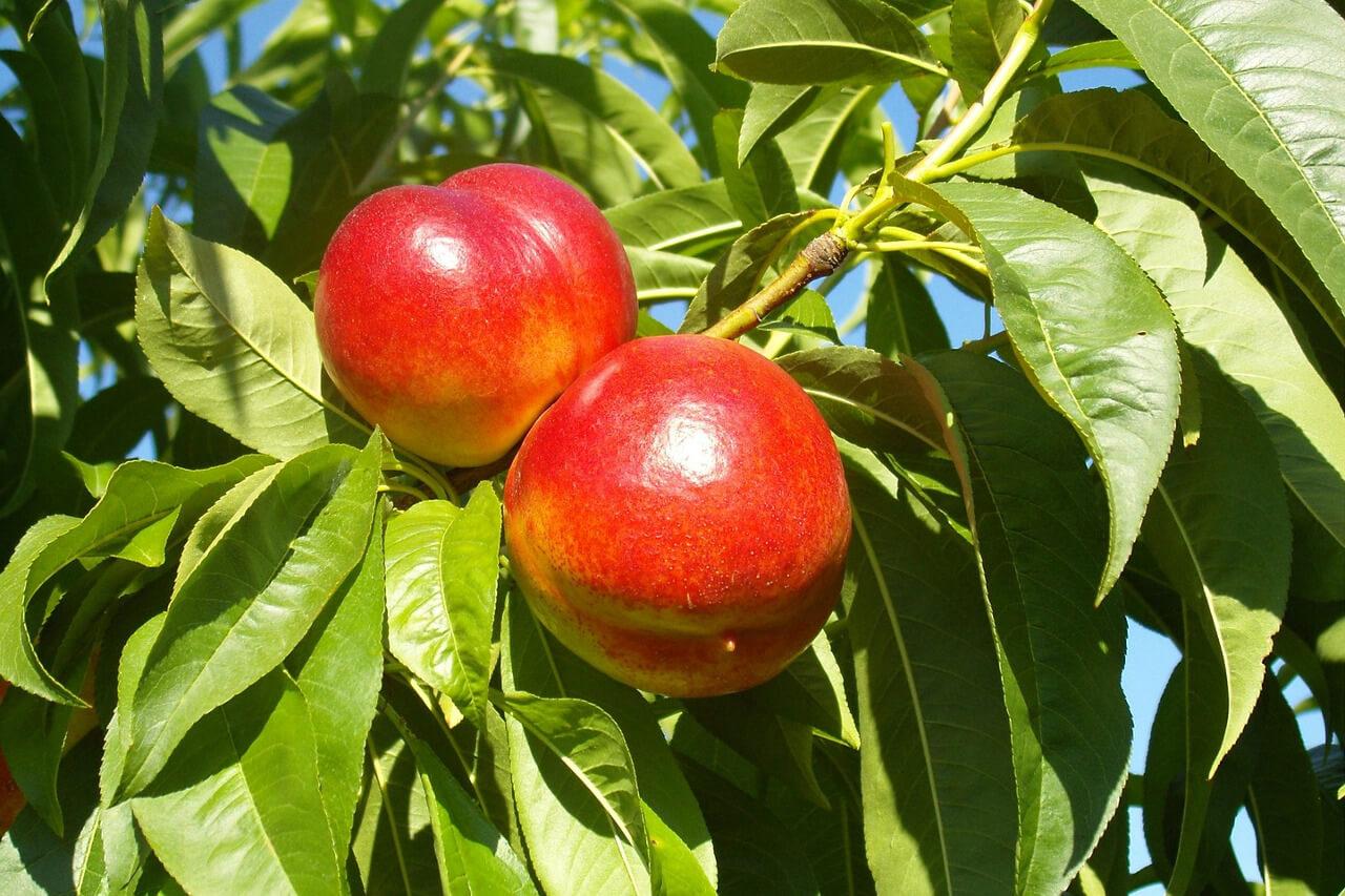 Servicios clientes nectarinas agrotécnicos hellín agrotecnicoshellin.es